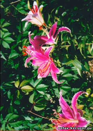 (440x657, 195Kb)Магия моего сада